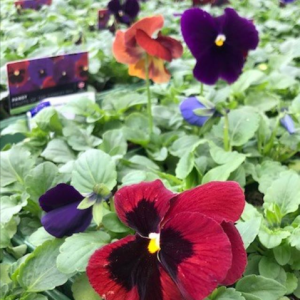 Pansy Fruits of the Forest Mix