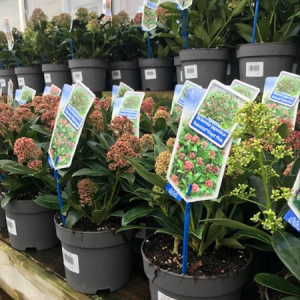 2L Skimmia Mixed