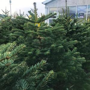 100- 125cm Premium Spruce