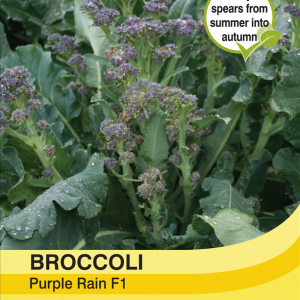 Broccoli Purple Rain F1