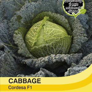 Cabbage Savoy Cordesa F1