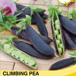 Climbing Pea Purple