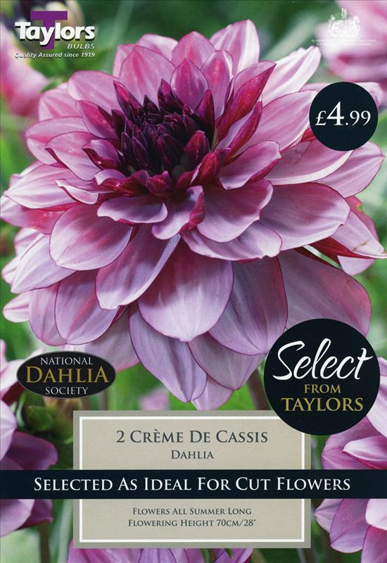 Select Premium Dahlia Crème