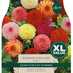 XL Value Dahlia Pompon