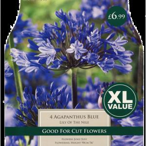 XL Value Agapanthus Blue