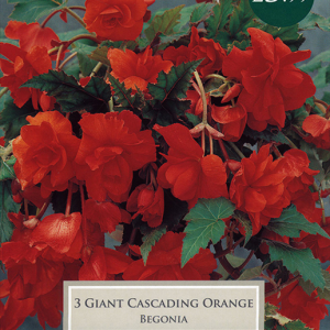 Begonia Orange Giant Flower