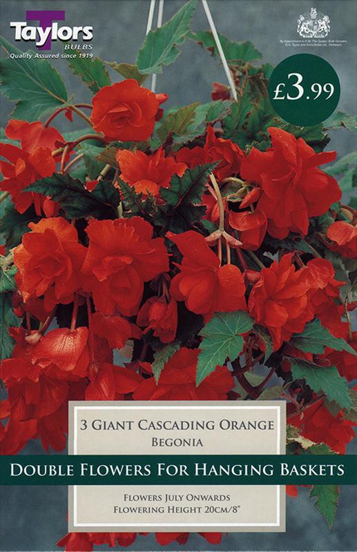 Begonia Orange Giant Flower