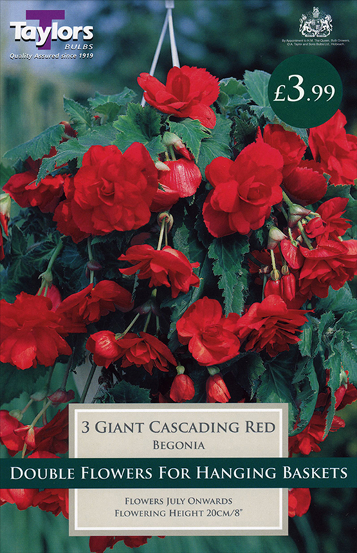 Begonia Red Giant Flower