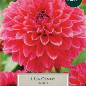 Dahlia Isa Candy