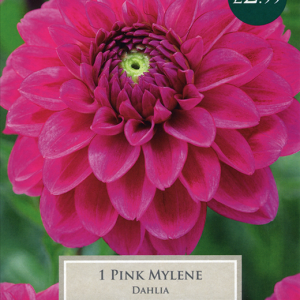 Dahlia Pink Mylene