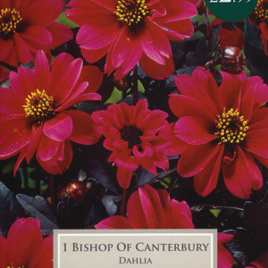 Dahlia Bishop Of Canter