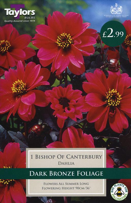 Dahlia Bishop Of Canter