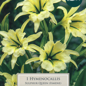 Hymenocallis Sulphur