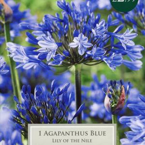 Cottage Garden Agapanthus