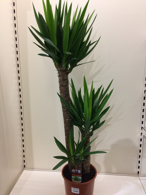Yucca Elephantipes 120cm