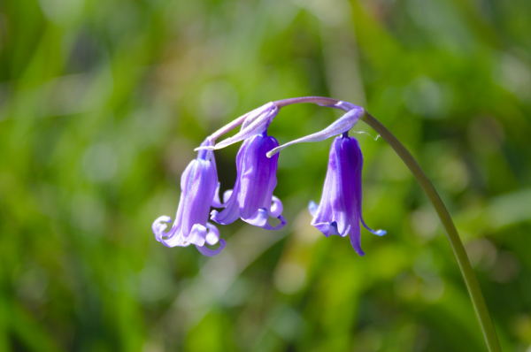 English Bluebells 4 pack