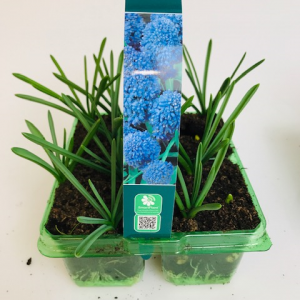 Muscari Blue Spike 4 pack