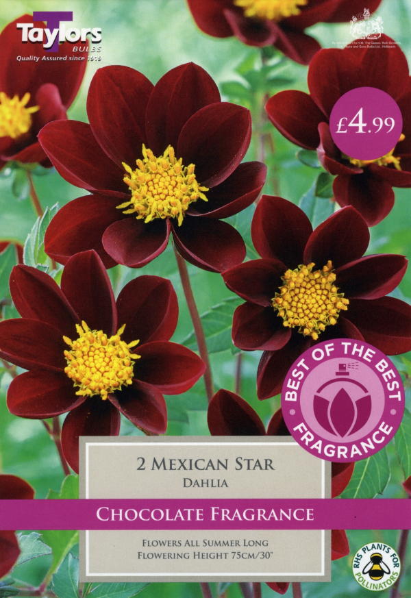 Dahlia Mexican Star