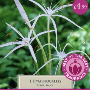 Hymenocallis Harrisiana