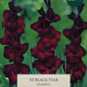 Gladioli Black Star