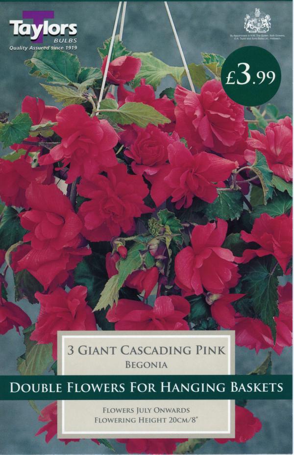 Begonia Pink Gnt Flw