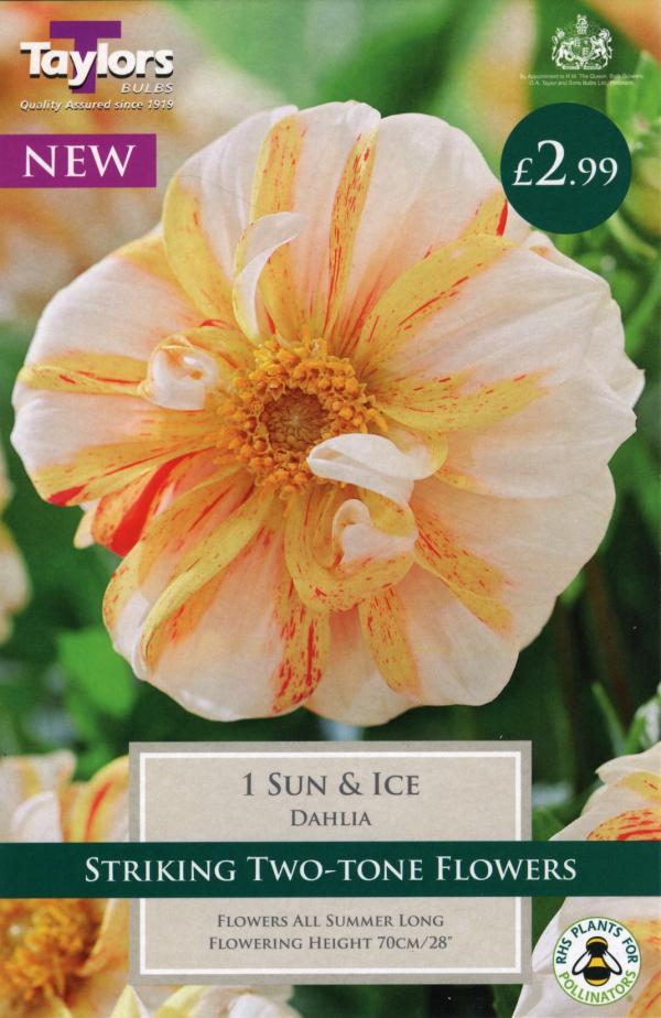 Dahlia Sun & Ice