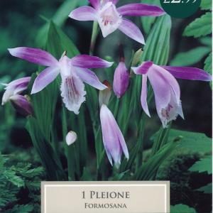Pleione Formosana I