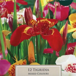 Tigridia 5Up