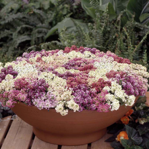 Alyssum Aphrodite Mixed