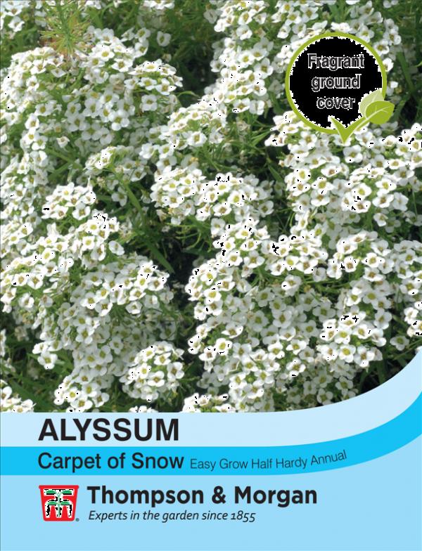 Alyssum Carpet of Snow
