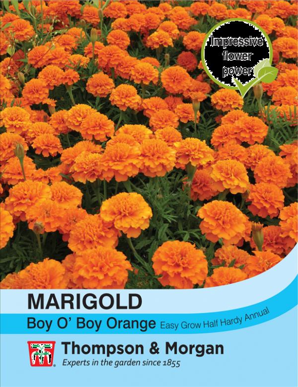 Marigold Boy O Boy Orange