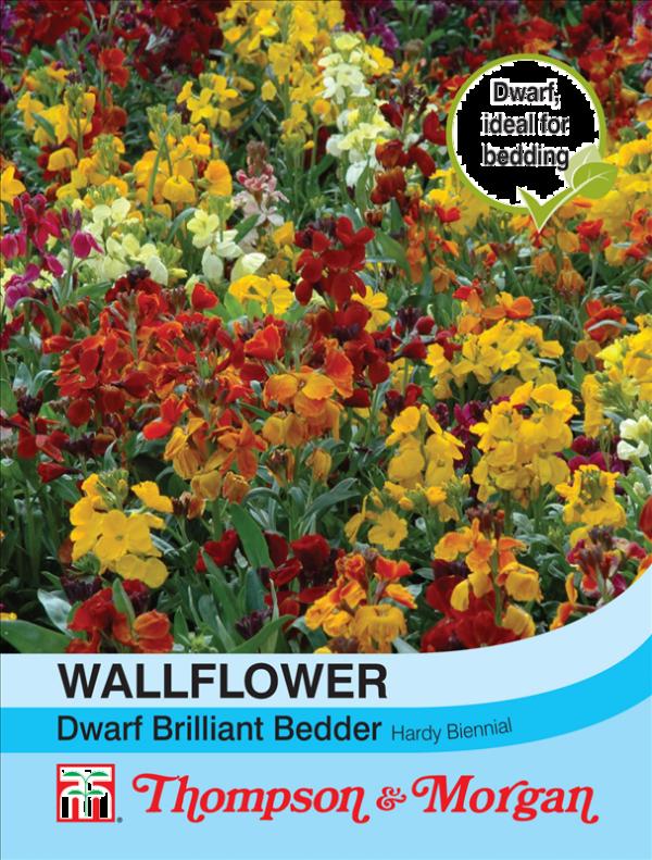 Wallflower Dwarf Bedder