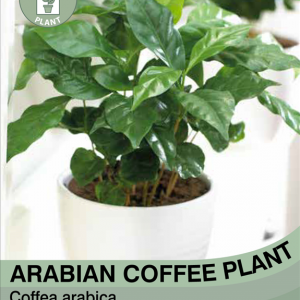 Arabian Coffee Plant