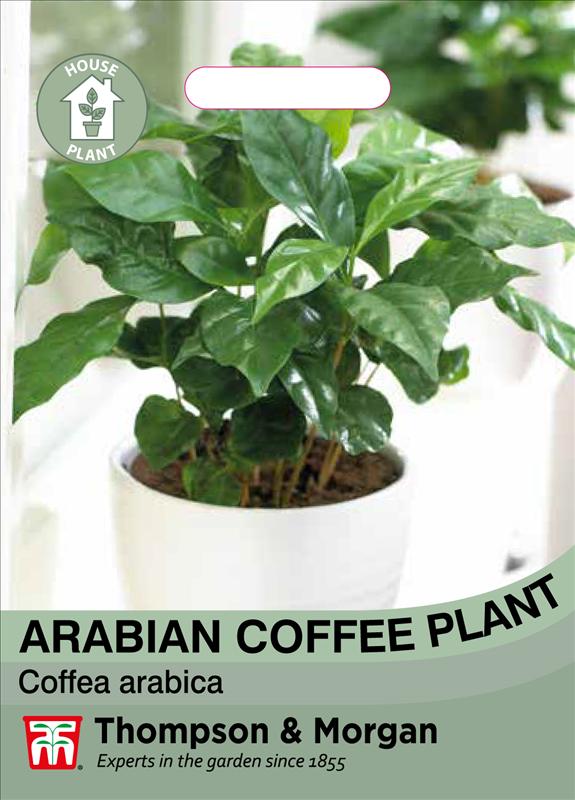 Arabian Coffee Plant