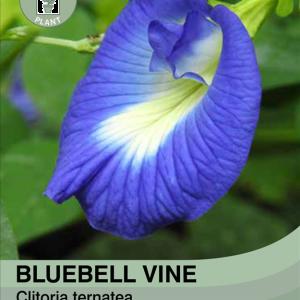 Bluebellvine