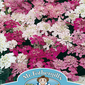 Candytuft Fairy Mixed