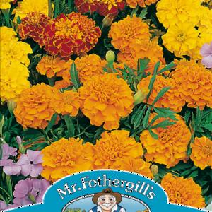 Marigold (French) Bonita