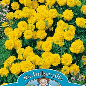 Marigold (French) Yellow Jacket