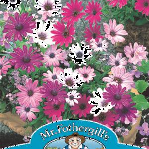 Osteospermum Daisy Mae Mixed