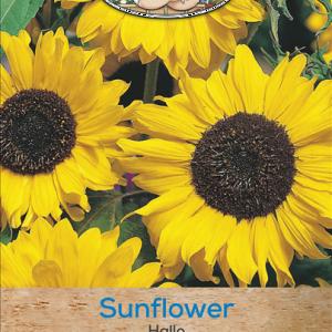 Sunflower Hallo