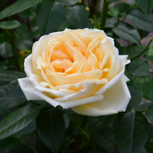 Countess Of Wessex Rose