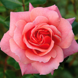 Festive Jewel Rose