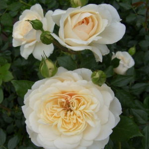 Queen'S Jubilee Rose Rose