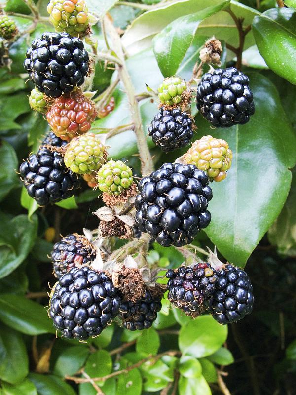 Blackberry Bedford Giant