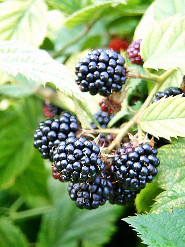 Blackberry Merton Thornless