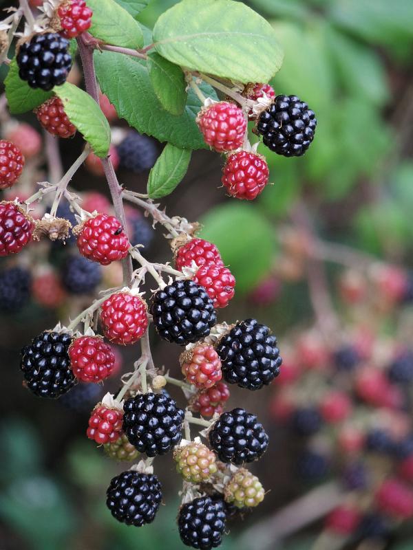 Blackberry Oregon Thornless