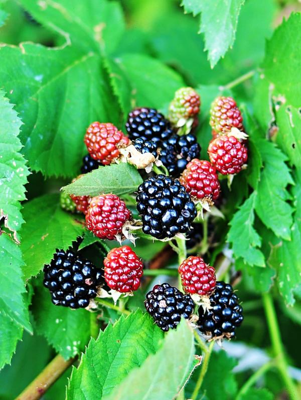 Blackberry Waldo