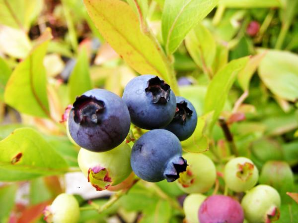 Blueberry Gold Traube