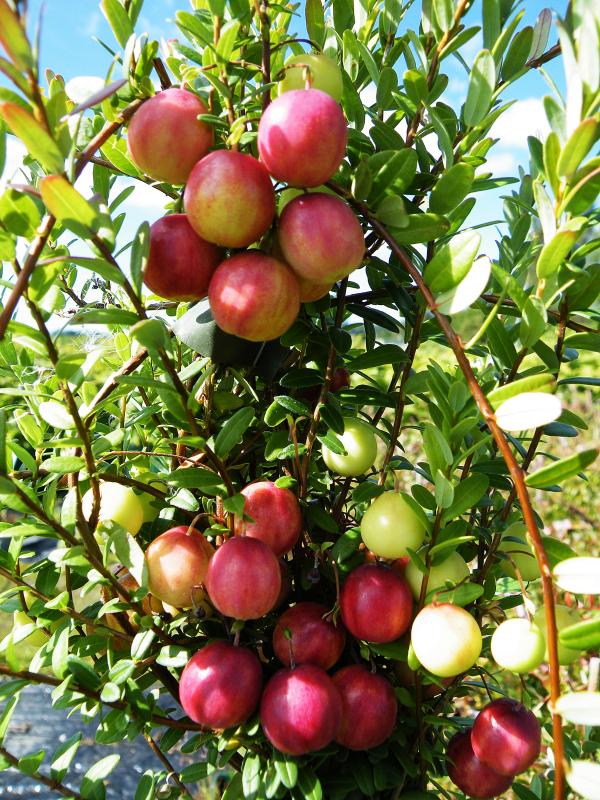 Cranberry Pilgrim