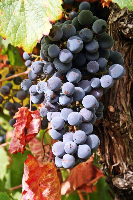 Grape Boskoop Glory